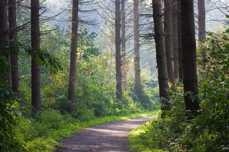Paisaje del bosque con luz del sol a través de los árboles fotografía de archivo libre de regalías