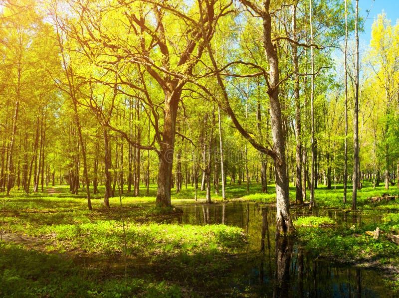 Paisaje del bosque de la primavera - árboles forestales verdes claros de la primavera y claro inundado del bosque imagen de archivo