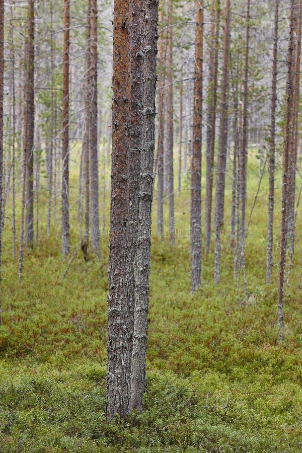 Paisaje del bosque de madera de pino de Finlandia Industria finlandesa de la madera fotografía de archivo libre de regalías