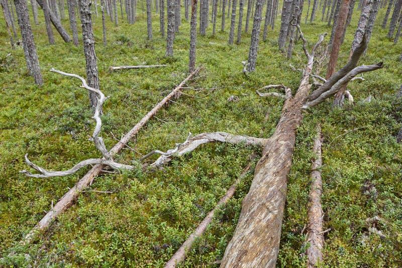 Paisaje del bosque de madera de pino de Finlandia Industria finlandesa de la madera fotografía de archivo