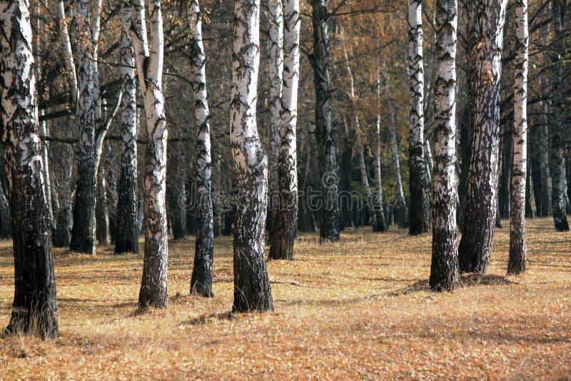 Paisaje del bosque del abedul del otoño imagen de archivo