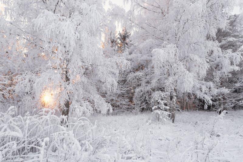 Paisaje del bosque del invierno Blanco como la nieve hermoso, cubierto con escarcha, el abedul Forest Sun del invierno, la arbole fotografía de archivo libre de regalías