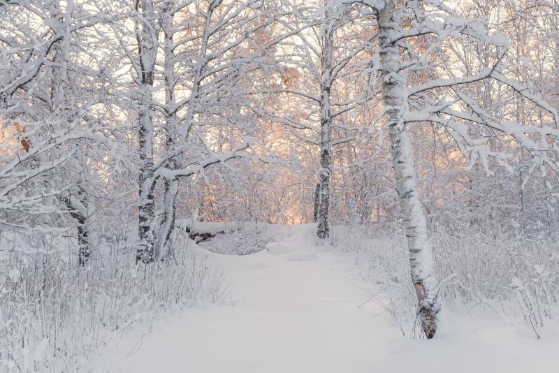 Paisaje del bosque del invierno Mañana hermosa del invierno en un abedul nevado Forest Snow Covered Trees In el invierno Forest R imagen de archivo libre de regalías