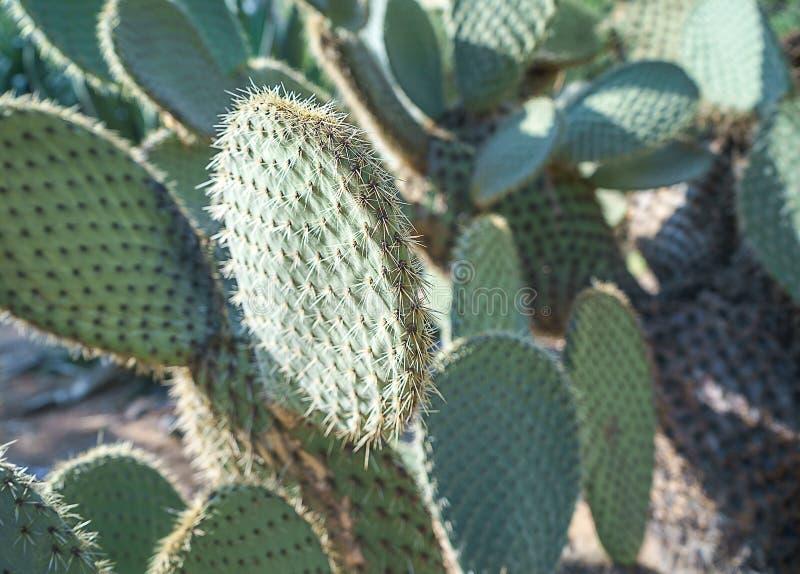 Paisaje del cactus Cultivo de cactus Campo del cactus Jardín de la flor y de plantas en jardín botánico en la isla maravillosa Lo imágenes de archivo libres de regalías