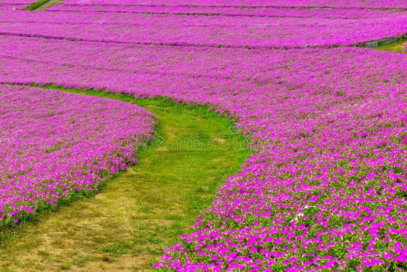Paisaje del camino de la hierba con hybrida rosado hermoso de la petunia de las flores de la petunia en el jard?n En verano con d imagen de archivo libre de regalías
