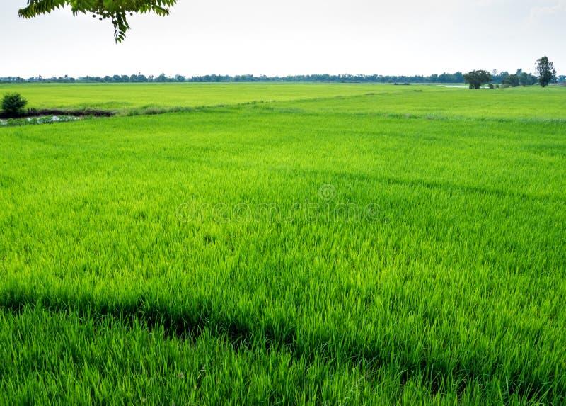 Paisaje del campo del arroz en Tailandia fotos de archivo