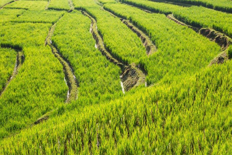 Paisaje del campo del arroz en Tailandia foto de archivo