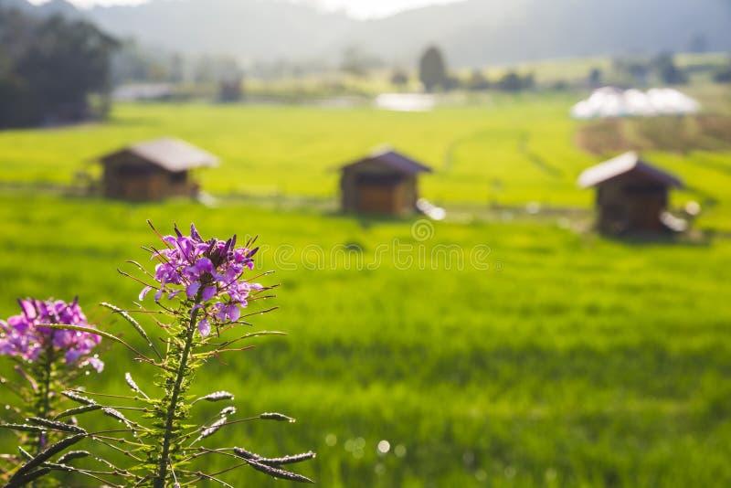 Paisaje del campo del arroz en Tailandia imagen de archivo libre de regalías