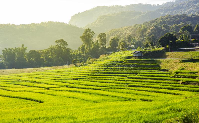 Paisaje del campo del arroz en Tailandia fotos de archivo libres de regalías