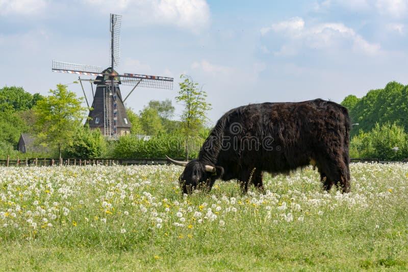 Paisaje del campo con la vaca escocesa negra, el pasto con las flores salvajes y el molino de viento holandés tradicional imagenes de archivo