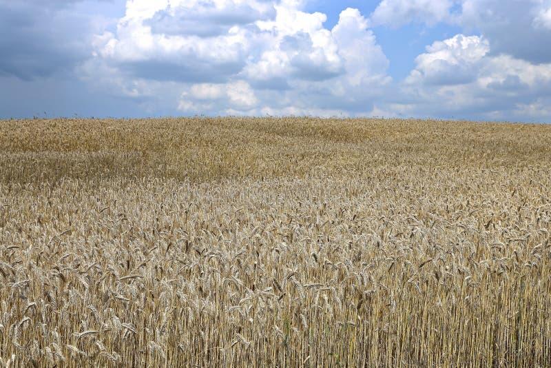 Paisaje del campo de trigo imagen de archivo libre de regalías