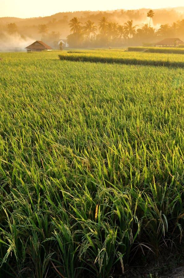 Paisaje 02 del campo del arroz de la agricultura fotografía de archivo