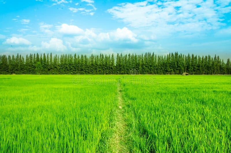 Paisaje del cielo azul de la hierba verde del campo del arroz fotos de archivo