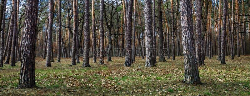 Paisaje del d?a de los ?rboles de pino en el bosque del primavera-verano, con un cielo azul brillante con las nubes Vista inferio fotos de archivo