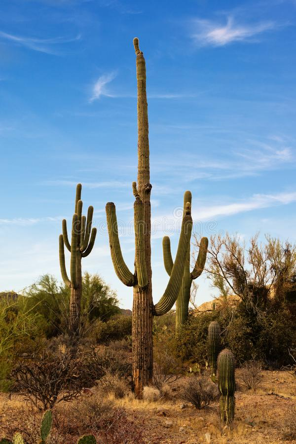 Paisaje del desierto con los cactus del Saguaro, parque nacional de Saguaro, Arizona del sudeste, Estados Unidos de Sonoran fotografía de archivo libre de regalías