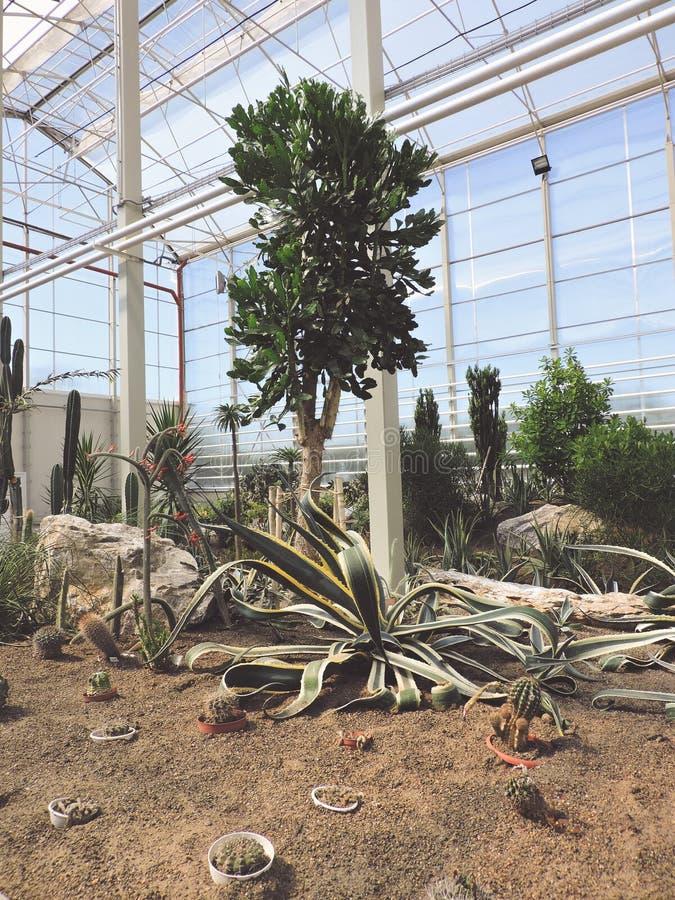 Paisaje del establecimiento de las plantas del agavo Planta del cactus del Asparagaceae del agavo Opini?n del primer del cactus v foto de archivo libre de regalías