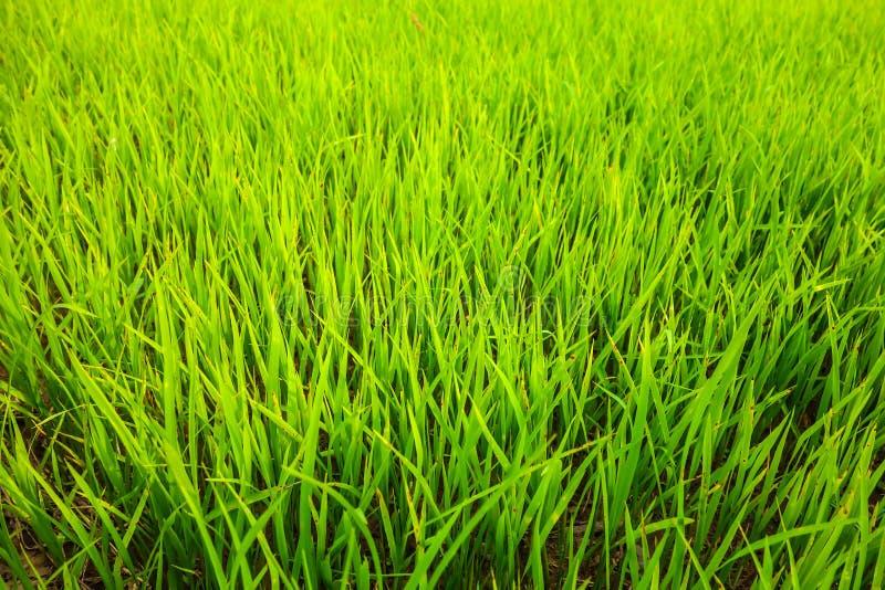 Paisaje del fondo del campo del arroz foto de archivo