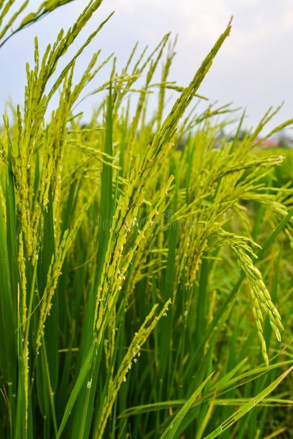 Paisaje del fondo del campo del arroz. fotos de archivo libres de regalías