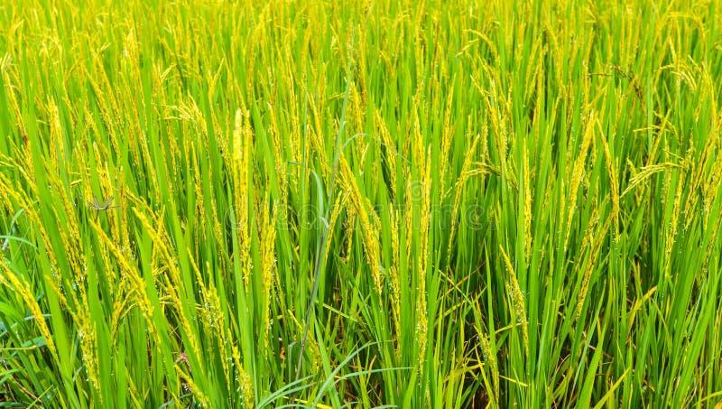 Paisaje del fondo del campo del arroz. imagen de archivo