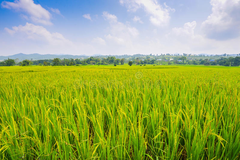 Paisaje del fondo del campo del arroz fotos de archivo