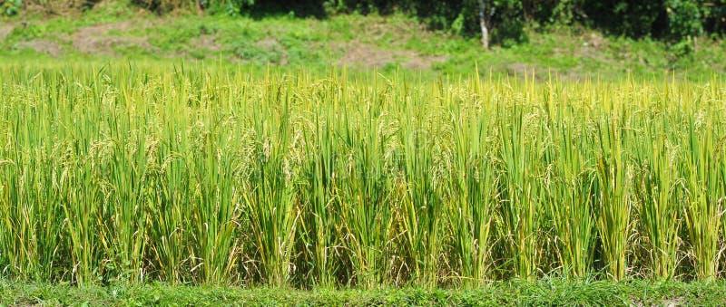 Paisaje del fondo del campo del arroz. fotografía de archivo