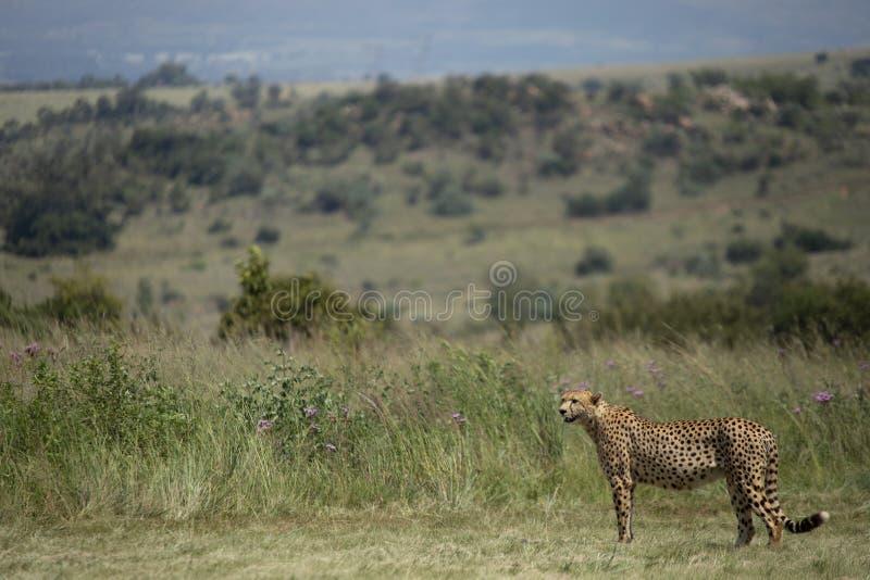 Paisaje del guepardo en África foto de archivo libre de regalías