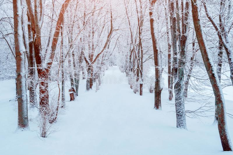Paisaje del invierno Árboles Nevado a lo largo del callejón del parque del invierno Escena nevosa del invierno fotos de archivo