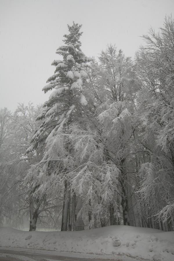 Paisaje del invierno Bosque nevado de los abetos por tarde de la calma del invierno fotos de archivo libres de regalías