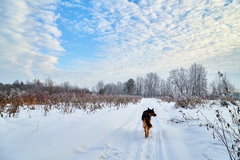 Paisaje del invierno con el camino nevoso con un perro, árboles y un cielo azul con las nubes blancas fotografía de archivo libre de regalías