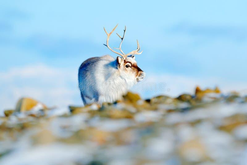 Paisaje del invierno con el reno Reno salvaje, tarandus del Rangifer, con las astas masivas en nieve, Svalbard, Noruega Ciervos d foto de archivo