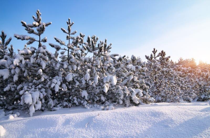 Paisaje del invierno con los abetos Composición de la naturaleza imagenes de archivo