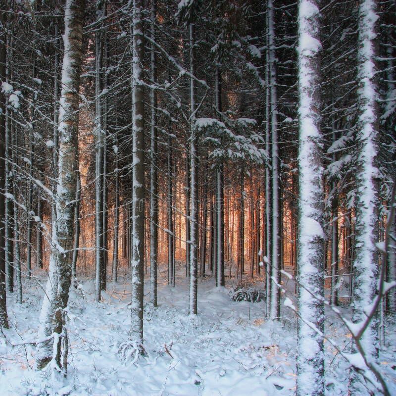 Paisaje del invierno en bosque conífero en la puesta del sol imagenes de archivo