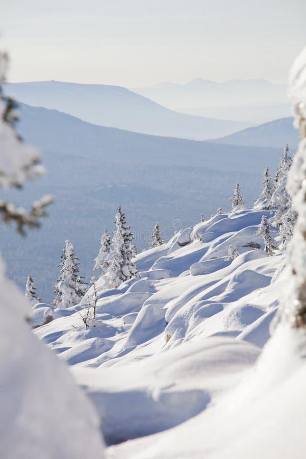 Paisaje del invierno Piceas y nieves acumulada por la ventisca nevadas fotografía de archivo libre de regalías