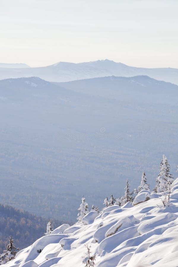 Paisaje del invierno Piceas y nieves acumulada por la ventisca nevadas imágenes de archivo libres de regalías