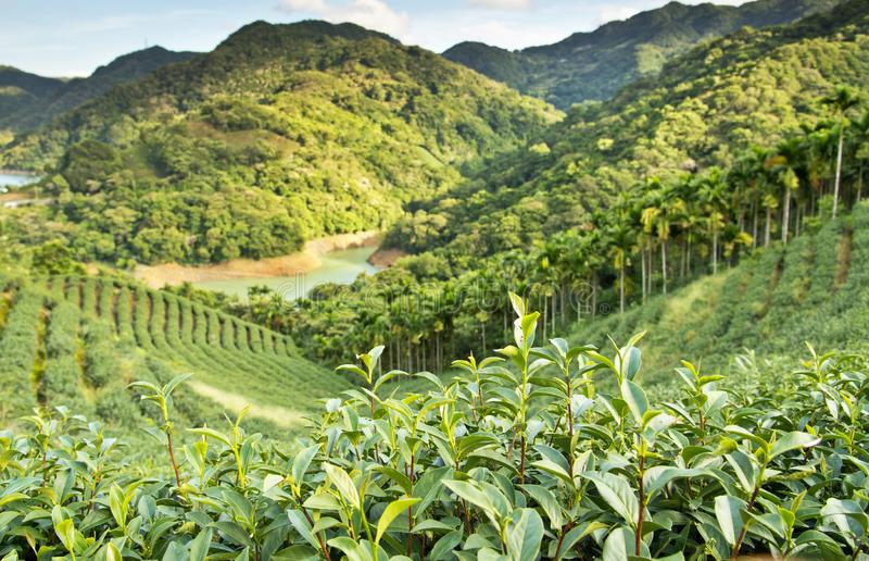 Paisaje del jardín de té imagen de archivo libre de regalías