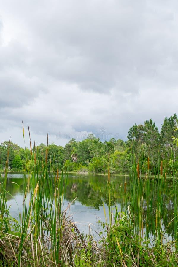 Paisaje del lago con Cat Tails en día nublado fotografía de archivo