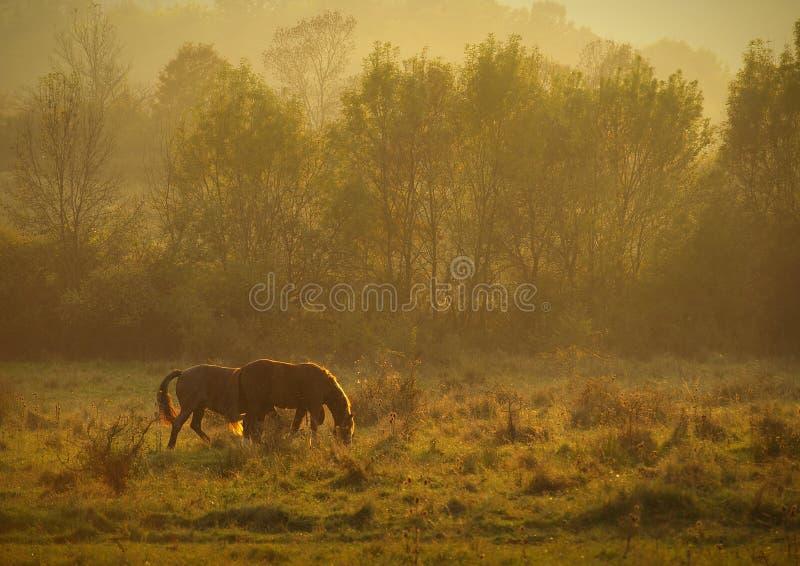 Paisaje del otoño con la alimentación de los caballos y árboles con follaje anaranjado y amarillo en la puesta del sol en Altring fotos de archivo libres de regalías