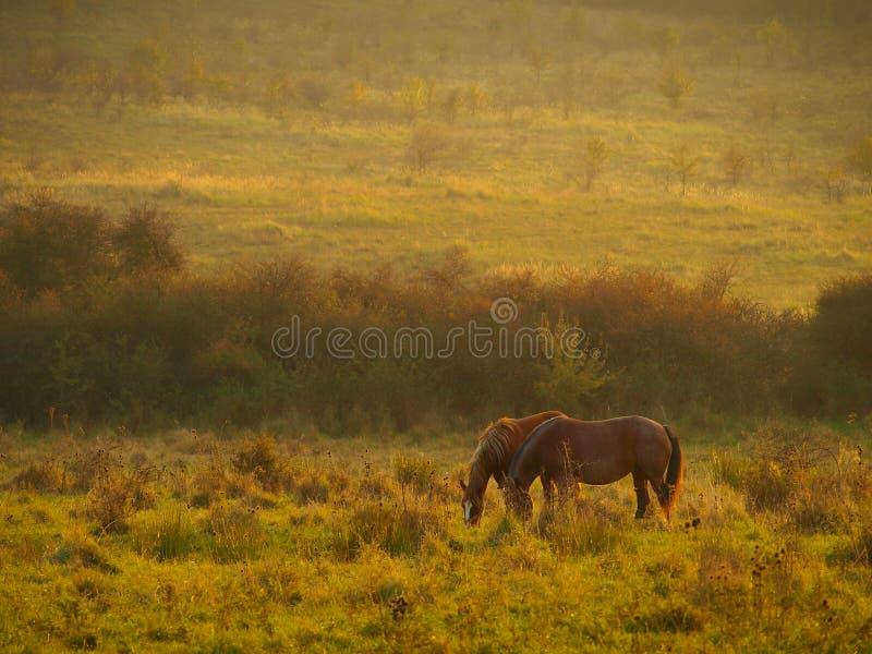 Paisaje del otoño con la alimentación de los caballos y árboles con follaje anaranjado y amarillo en la puesta del sol en Altring foto de archivo
