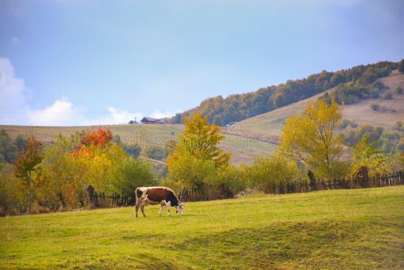 Paisaje del paisaje del otoño con la vaca solitaria en un prado fotografía de archivo