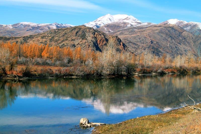 Paisaje del otoño con las montañas y los alerces amarillos imagen de archivo