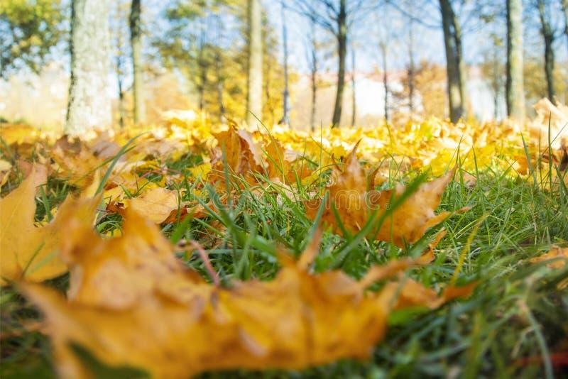 Paisaje del otoño en otoño de oro en parque en el tiempo soleado, hojas de arce caidas en hierba verde en primero plano fotos de archivo libres de regalías
