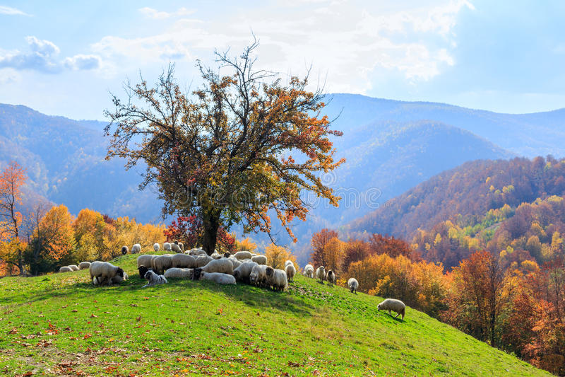Paisaje del otoño, oveja, perro del shepard imágenes de archivo libres de regalías