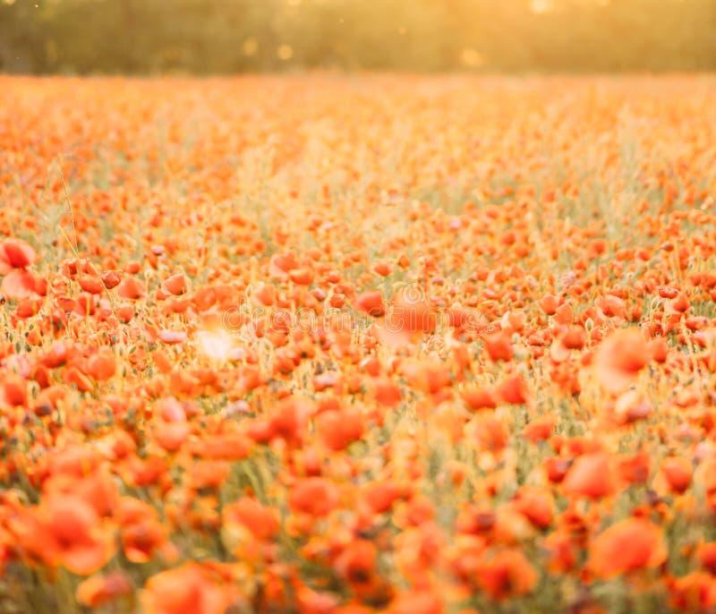 Paisaje del prado de las flores de las amapolas el día soleado del verano imagen de archivo