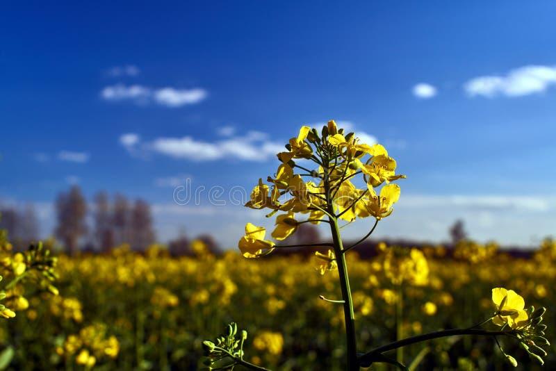 Paisaje del pueblo con una flor amarilla en la violación de semilla oleaginosa de la primavera fotografía de archivo