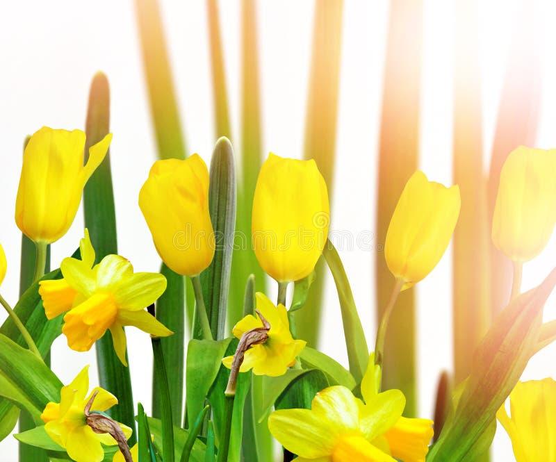 Paisaje del resorte la primavera hermosa florece narcisos fotos de archivo libres de regalías