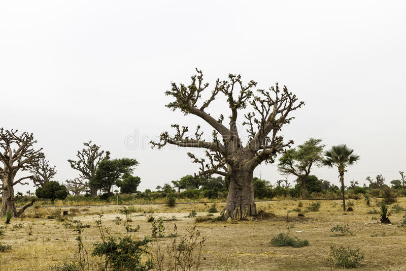 Paisaje del Sahel con un baobab fotos de archivo