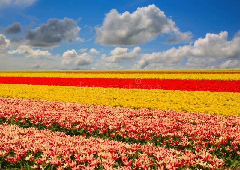 Paisaje del tulipán fotografía de archivo libre de regalías