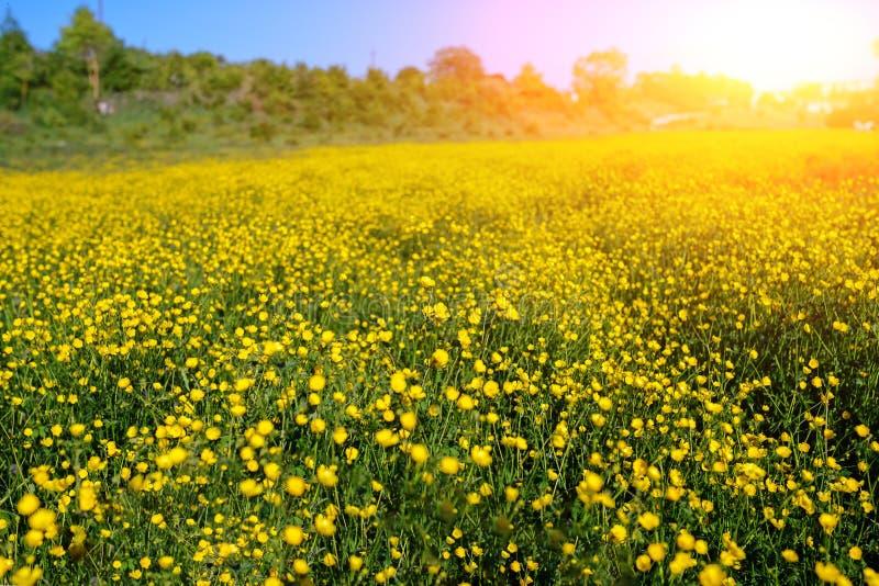 Paisaje del verano con el cielo y la manada texturizados del pasto de vacas en t foto de archivo libre de regalías