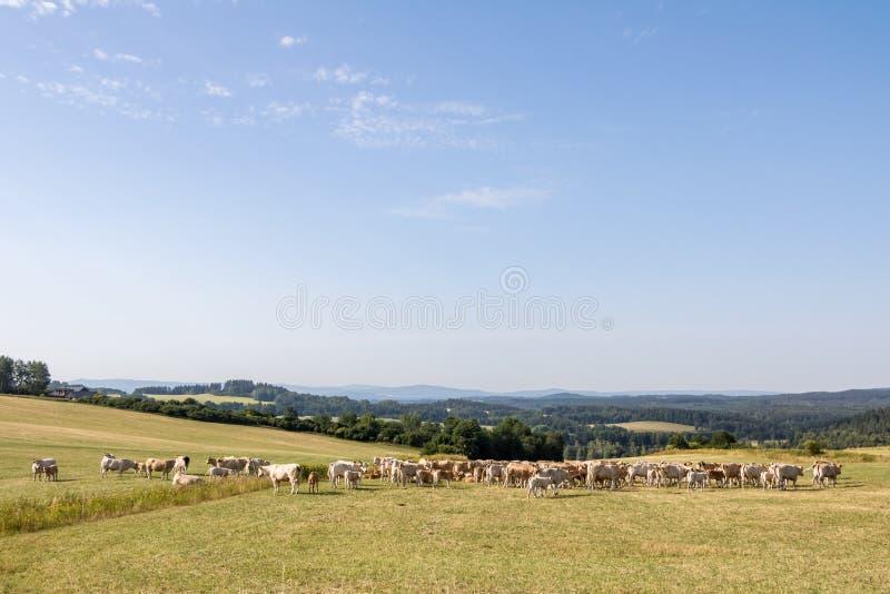 Paisaje del verano con la manada de vacas en pasto del verano foto de archivo