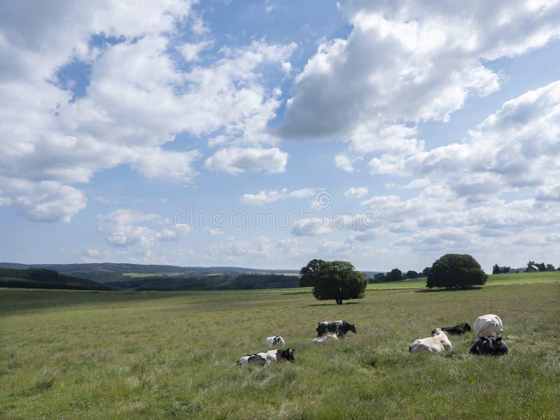 Paisaje del verano con las vacas cerca de La Roche en el belga Ardenas imagen de archivo